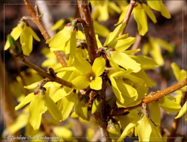 yellow flower Alberta
