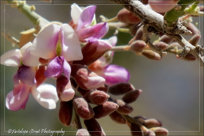 pink flowers Arizona