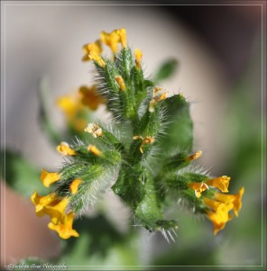 Another tiny flower is this Common Fiddleneck.