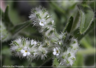 The Cryptantha is a tiny flower.