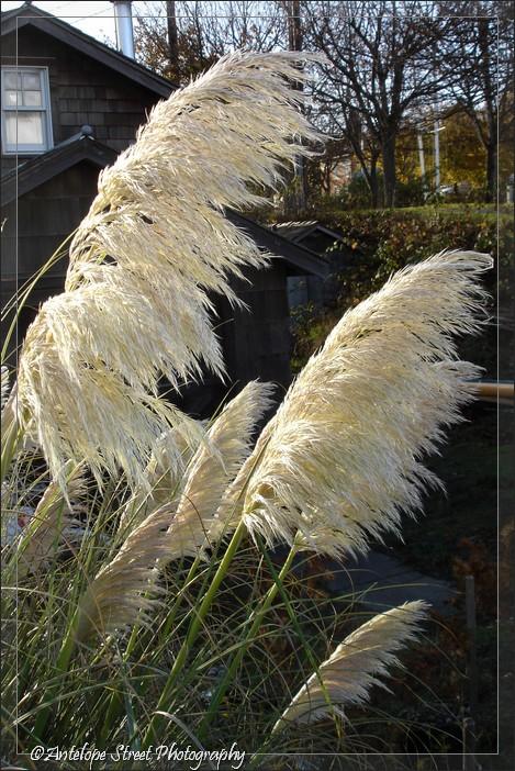 25-pampas-grass