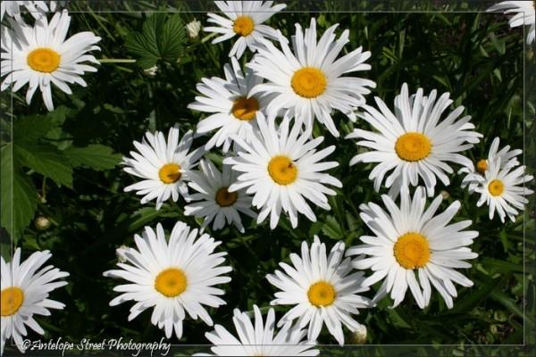 31-white-shasta-daisy