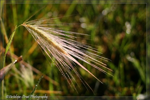 25-foxtail-barley-grass