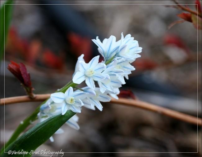 blue white flower Alberta