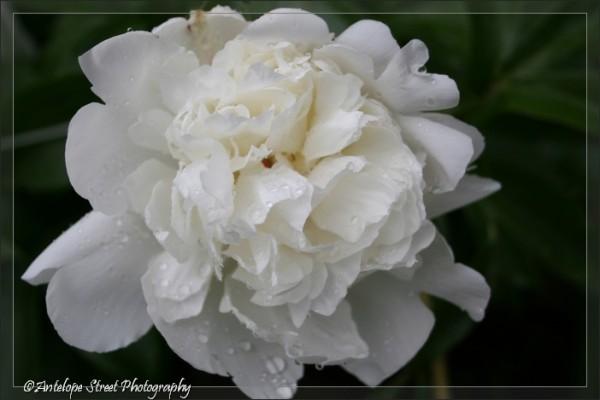 31-white-peony