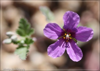 Another small member of the Erodium family.
