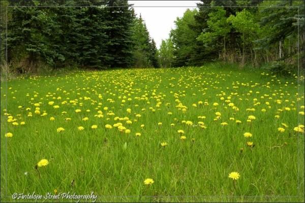 18-dandelion