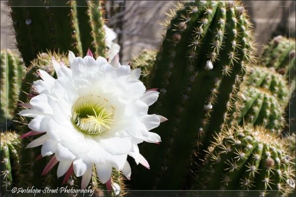 48-argentine-giant-cactus3