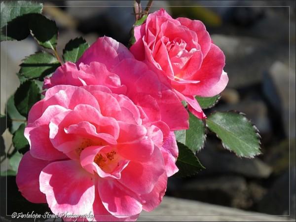 64-rose-pink