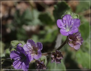 One small member of the Phacelia family.