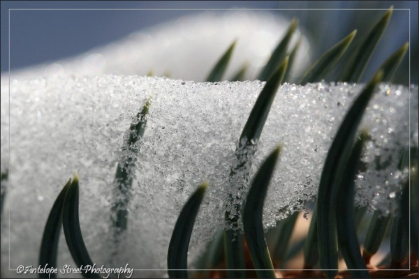 Spruce Needles Snow