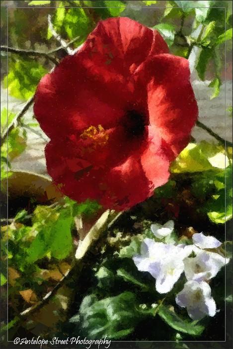 6-fotosketcher-hibiscus-emergence