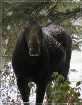 Moose adult 2a