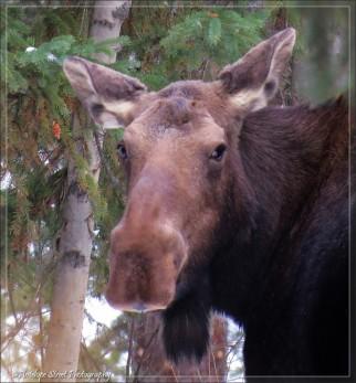 Moose adult 2b