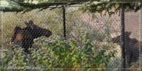 Moose fence