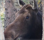 Moose mother