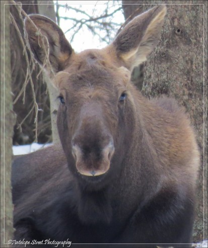 Moose young one