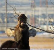 moose eating 2