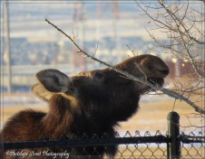 moose eating 4