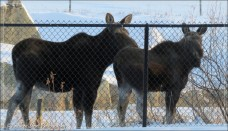moose mom calf