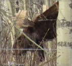 moose male 1 closeup