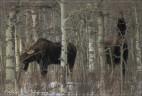 moose male 1